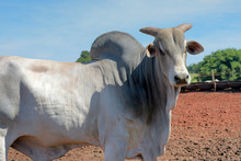 Closeup Of Zebu Bull Of The Ne...