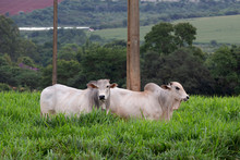 Cattle Of The Nelore Breed, In...