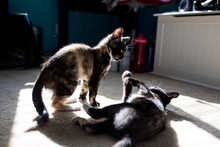 Two Kittens Play In A Bedroom In The Sunlight