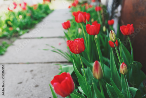 Printed kitchen splashbacks Tulip Red tulip flowers along the path in the garden in poor country. Selective focus