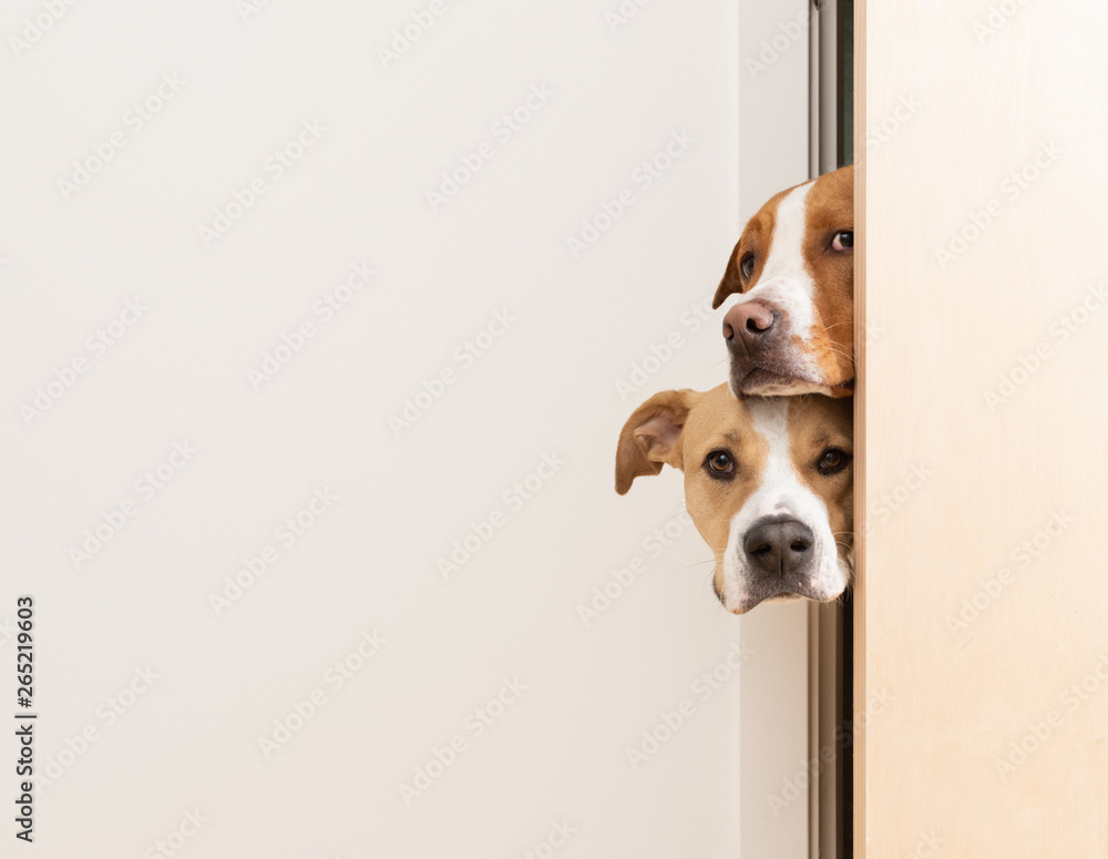 Fototapety, obrazy: Sneaky Dogs Looking Through Door Way into Room