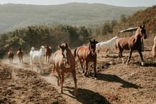 Herd Of Amazing Horses Running On Dirty Countryside Road On Sunny Day In Nature