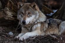 Liegender Wolf Auf Waldboden
