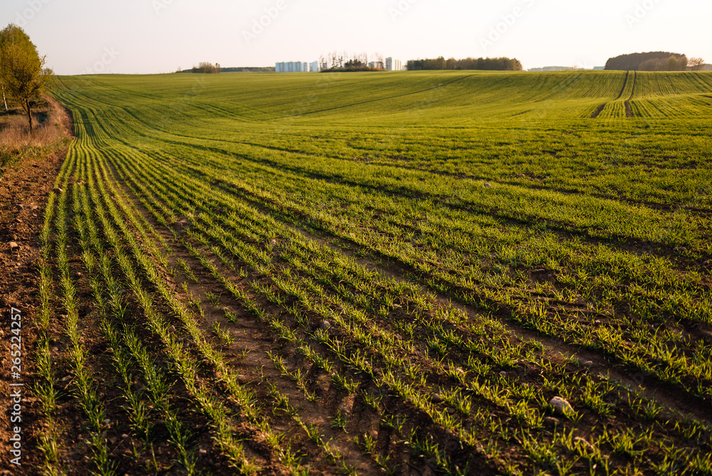 Fototapety, obrazy: Fresh green spring grass with the sun on the background of nature, lawn grass sprouting, sowing grain and cereals
