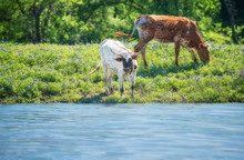 Texas Longhorn Cattle Grazing On Bluebonnet Pasture By A Pond On A Sunny Spring Day.