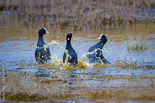 Fotografie, Tablou  Fighting birds