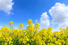 Beautiful Yellow Rape Flowers On A Background Of Blue Sky