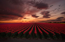 Sunset Over Tulip Fields. Floc...