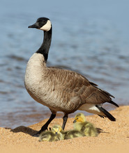 Mother Canada Goose On A Sandy Beach With Baby Goslings