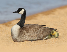 Mother Canada Goose With Baby ...