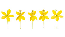 Cassia Flower Top View  Isolated On White Background.