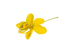 Cassia Flower Isolated On White Background.