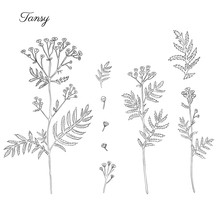 Tansy Flower Or Tanacetum Vulgare Vector Illustration Isolated On White Backdrop, Ink Sketch, Decorative Herbal Doodle, Line Art Style For Design Medicine, Wedding Invitation, Greeting Card, Cosmetic