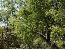 Acacia Dealbata - Silver Wattl...