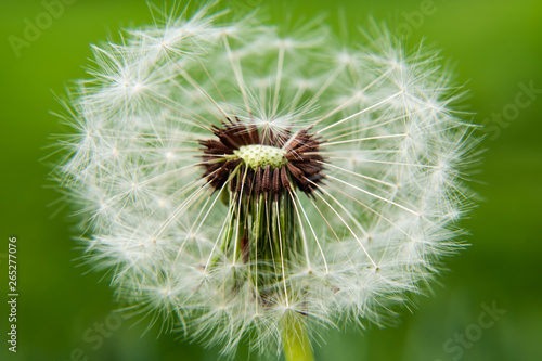 Fototapety, obrazy: Close up of white dandelion. selective focus.