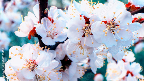 Fototapety, obrazy: Spring floral concept. Full blooming of apricot tree. Beautiful flower on an abstract blurred background. Closeup with soft selective focus.
