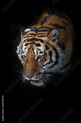 Keuken foto achterwand Tijger Tiger in the forest. Amur tiger (Siberian tiger) among fir trees in winter close-up, powerful face of a big beautiful predatory cat. Isolated on black background.