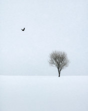 Bird Flying Towards A Tree On A Snowy Winter's Day In Lofoten Islands, Nordland