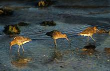 Curlews Feeding