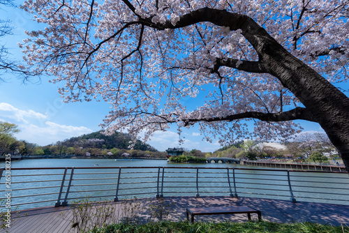 Fototapety, obrazy: Duryu Park at Seongdangmot Pond with cherry blossom tree in spring in Daegu city of korea, in south korea.