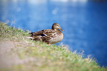 The Female Wild Duck Sits On T...