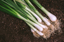 Spring Onion Or Scallion In Vegetable Garden