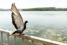 Beautiful Pigeon Spreading Win...