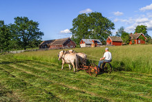 Haymaking The Old Fashioned Way With A Horse Drawn Mower