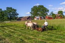 Haymaking The Old Fashioned Wa...