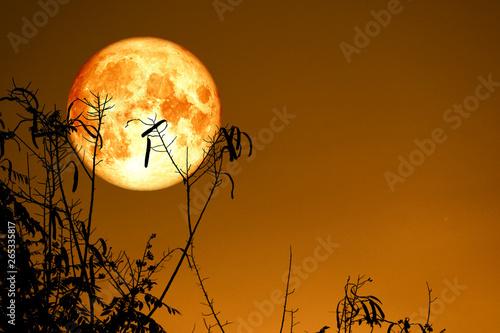 Keuken foto achterwand Diepbruine Full Fish Moon back on silhouette dry branch tree on night sky