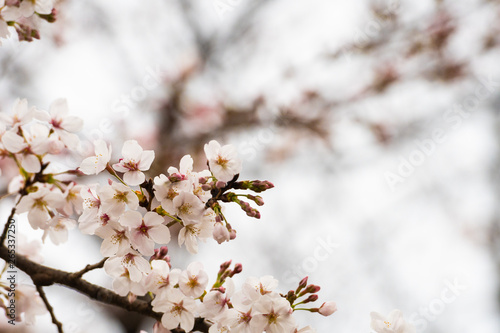 Photo  Cherry blossom in spring for background or copy space for text