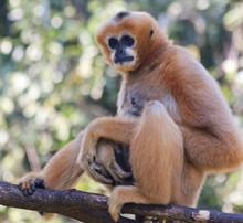 A White Cheeked Gibbon, Chiang...