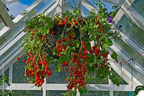 Photo Container of tomatoes 'Hundreds and Thousands' growing in a hanging basket