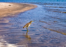 The Bird Stands In The Water O...