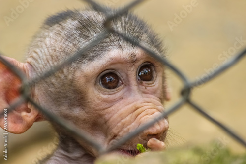 Photo  A baby baboon newly born behind the bars of zoo