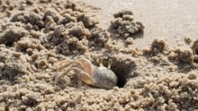 Small Sea Crab In Sand Hole On...
