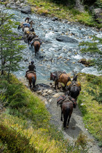 Group Of Horses Working Carrying Cargo, Crossing A River With A Peasant Who Guides Them.