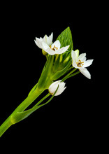 .white Ornithogalum Flowering Spike