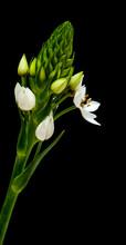 White Ornithogalum Flowering Spike