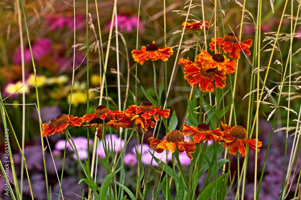 Helenium 'Moerheim Beauty' flowering in a bed of grasses