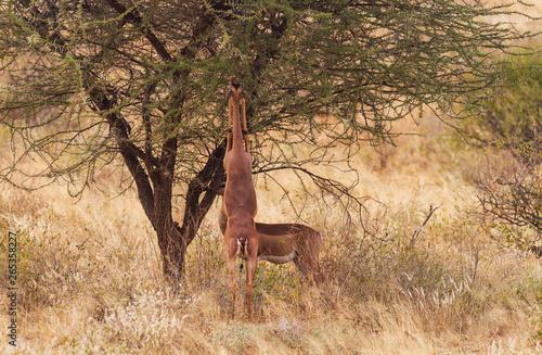 Fototapety, obrazy: Gerenuk pair, two Litocranius walleri, standing to feed at green bush stretching long neck. Samburu National Reserve, Kenya, East Africa