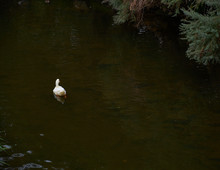 White Duck In Water Swimming A...