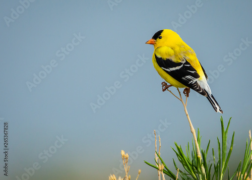 Cuadros en Lienzo Goldfinch in Nature