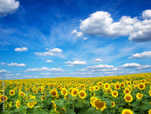 In de dag Zonnebloem Sunflower field with cloudy blue sky