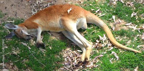 Photo sur Toile Kangaroo The kangaroo is a marsupial from the family Macropodidae (macropods, meaning 'large foot').