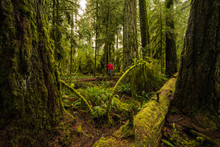 A Tourist In The Lush Rainforest Of Cathedral Grove, Macmillan Provincial Park, Vancouver Island; British Columbia, Canada