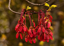 Spring Red Maple Seeds And New Sprouting Leaves With Raindrops; Bedford, Nova Scotia, Canada