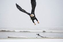 A Bald Eagle (Haliaeetus Leuco...