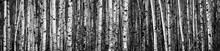 Birch Trees; Thunder Bay, Ontario, Canada