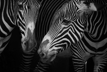 Close-Up Of Two Grevy's Zebra (Equus Grevyi) Side-By-Side; Cabarceno, Cantabria, Spain